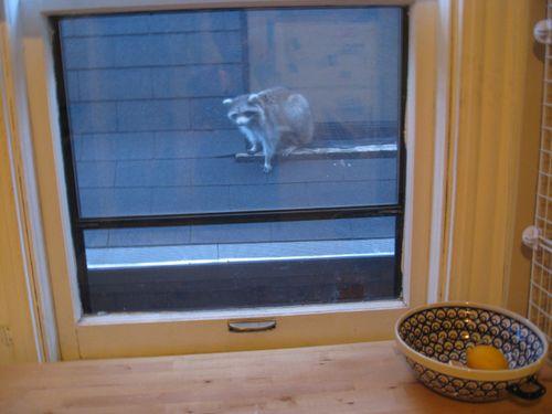 Kitchen_window_raccoon